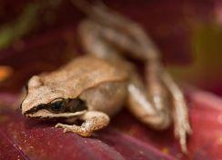 Wood frog Opens in new window